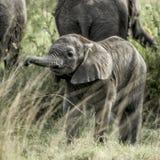 Calf elephant in Serengeti National Park. Africa Stock Photos