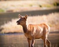 Calf Elk Stock Photography