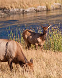 Calf elk Stock Photos