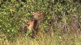 Calf Elk Grazing stock footage