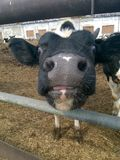 Calf farewell kiss Stock Photography