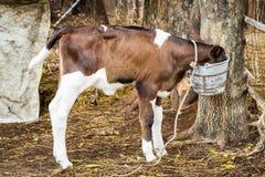 Calf in farm Stock Photography