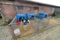 Calf at the farm Stock Image