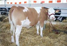 Calf on a farm Stock Photography