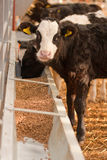 Calf feeding. A black and white calf feeding on solid foods Stock Photo