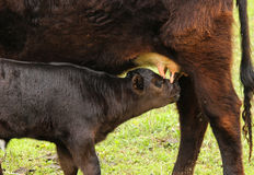 Calf Feeding. A black bull calf drinking with his face covered in milk royalty free stock photos