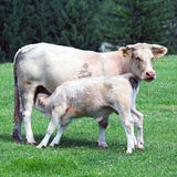 Calf feeding from cow stock images