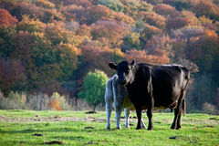 Calf feeding from a cow in autumn Royalty Free Stock Photo