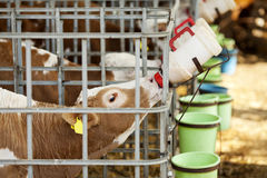 Calf Feeding Stock Image