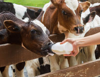 Calf feeding from milk bottle. With right hand Royalty Free Stock Image
