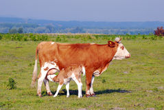 Calf feeding with milk from cow Royalty Free Stock Photos