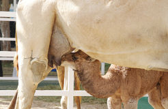 A calf feeding milk of mother camel Stock Photos