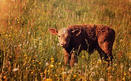 Calf in field Stock Image