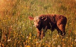 Calf in field Stock Image