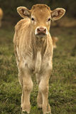 Calf in a field looking straight with curiosity. In the mountains of Navarra in Spain a calf looks with autority to the stranger Stock Image