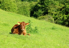Calf on the field Royalty Free Stock Photography