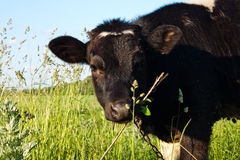 Calf in Field Royalty Free Stock Image