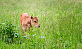 Calf in Field Royalty Free Stock Photo