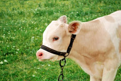 Calf in the filed. Young calf in filed setting Royalty Free Stock Photos