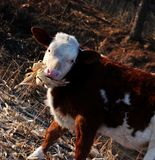 Cattle; ox; a surname; moggy; moo-cow. A calf filmed in the wild stock photos