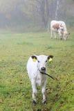 Calf on a foggy meadow Stock Photo