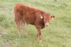 Calf. Free calf grazing in a green meadow Royalty Free Stock Photo