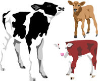Calf. Friesian, jersey and hereford calf - color illustrations Royalty Free Stock Photography