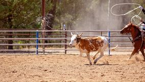 Calf Roping At An Australian Country Rodeo stock images