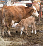 Calf getting some milk Stock Image