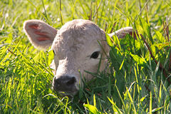 Calf in the grass Royalty Free Stock Image