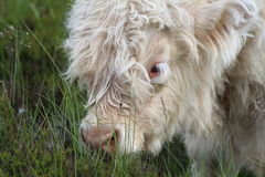 Calf Grazing. A cute white highland cattle calf with long eyelashes grazing on moorland grasses Stock Photos