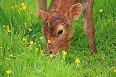 Calf grazing Stock Image