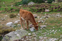 A calf grazing on a field Stock Photo