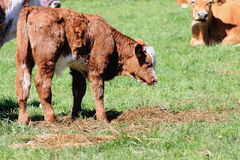 Calf Grazing. A calf grazes on hay on a farm in New Zealand royalty free stock photo