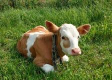 Calf. Stock Photo