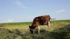 Calf grazing stock footage