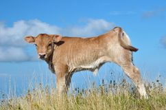 Calf grazing Stock Photo