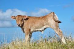Calf grazing Stock Photo