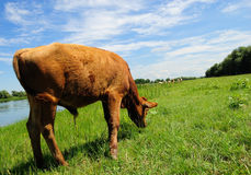 Calf grazing by lake. Side view of brown cow grazing on green field by lake in summer Stock Photos
