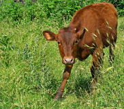 The calf Royalty Free Stock Photo