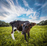 Calf grazing on the meadow Royalty Free Stock Photography
