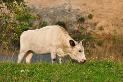 Calf grazing near pond Royalty Free Stock Photo