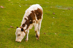 Calf grazing Royalty Free Stock Photography