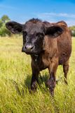 Calf Stock Photography