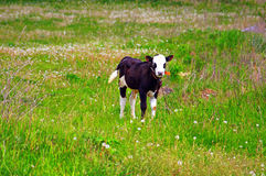 Calf on a green dandelion field Stock Image