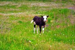 Calf on a green dandelion field Stock Image