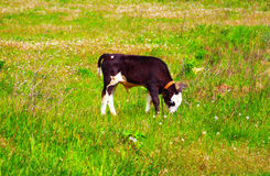 Calf on a green dandelion field Royalty Free Stock Photos