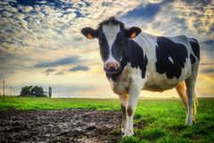 Calf at green field Royalty Free Stock Images