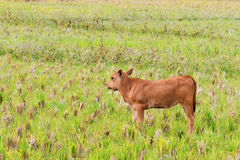 A calf  on the green field waiting Stock Photography