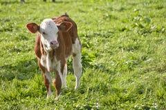 Calf on green meadow